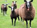 Geiten-en-schapen